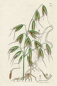 Sowerby English Botany, Wild Oat