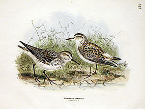 Dresser Birds of Europe Sandpiper Lithograph