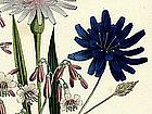 Loudon Ladies Flower Garden Purple Viper Grass