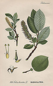 Thome Flora von Deutschland Spearhead Leaved Willow