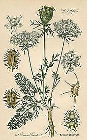 Thome Flora von Deutschland Queen Anne's Lace