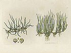 Sowerby English Botany, Pill-wort, or Pepper-grass