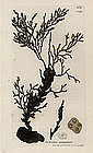 Sowerby English Botany, Granulated Fucus
