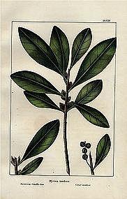 North American Sylva Candle Tree