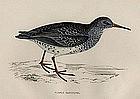 Morris History of British Birds Purple Sandpiper