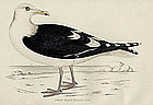Morris Birds, Great Black-backed Gull