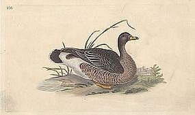 Donovan British Birds, Grey-Lag Goose
