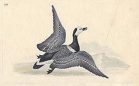 Donovan British Birds, Bernacle Goose