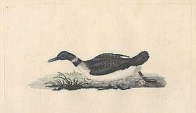 Donovan British Birds, Northern Diver