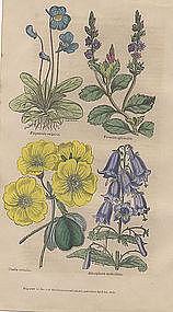 Harrison's Floricultural Cabinet Oxalis, etc.