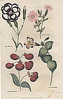 Harrison's Floricultural Cabinet Calceolaria, etc.