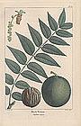 North American Sylva Black Walnut