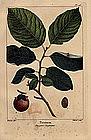 North American Sylva Persimmon