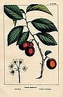 North American Sylva Wild Plum