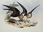 Gould Birds of Asia Antique Print Pratincole