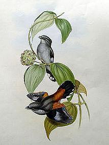 Gould Birds of Asia Antique Print Eurylaime