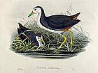 Gould Birds of Asia Antique Print Waterhen