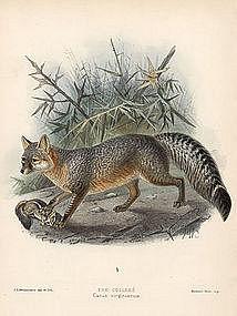 Virginian Fox Mivart Dogs Jackals Wolves Foxes