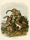 Chipping Squirrel Audubon Hand Colored Lithograph