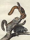 Cat Squirrel Audubon Hand Colored Lithograph