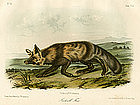 Jackall Fox Audubon Hand Colored Lithograph