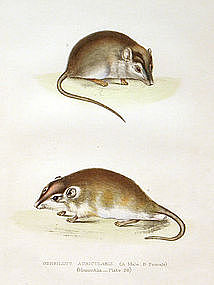 Gerbil Zoology Sir Andrew Smith Lithograph