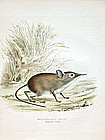 Elephant Shrew Zoology Smith Lithograph