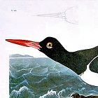 Audubon Birds of America Pied Oyster Catcher