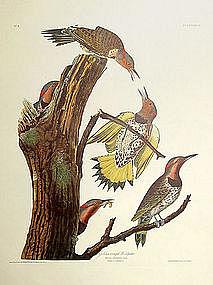 Audubon Birds of America Golden Winged Woodpecker