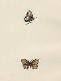 Morris British Butterflies Silver Bordered Ringlet