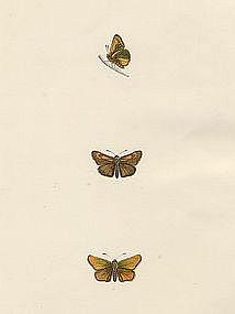 Morris British Butterflies Lulworth Skipper