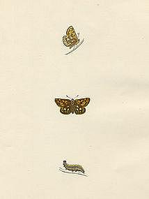 Morris History British Butterflies Spotted Skipper