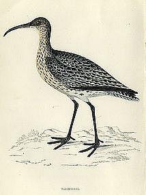 Morris History of British Birds Whimbrel