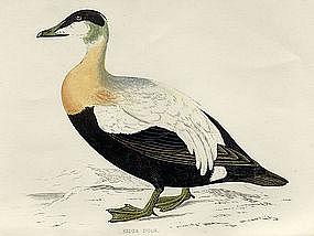 Morris History of British Birds Eider Duck