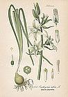 Thome Flora von Deutschland - Star of Bethlehem