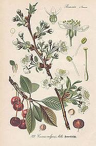 Thome Flora von Deutschland - Cherry Tree