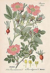 Thome Flora von Deutschland - Cinnamon Rose