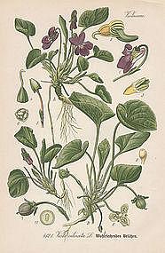 Thome Flora von Deutschland - Sweet Violet