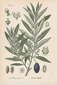 Thome Flora von Deutschland - Olive Tree