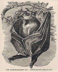 Hammer Head Bat 1890 Friend and Foe Wood Engraving
