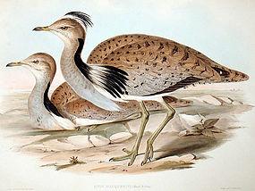 Gould Birds of Asia Lithograph MacQueens Bustard