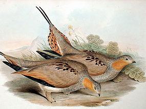 Gould Birds of Asia Lithograph Tibetan Sand Grouse