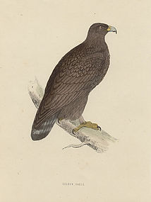 Morris History of British Birds Golden Eagle Print