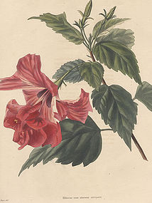 Loddiges Botanical Cabinet, Striped Flowered Hibiscus