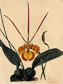 Loddiges Botanical Cabinet, Butterfly Plant  Orchid