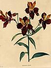 Loddiges Botanical Cabinet, Peruvian Lily  Alstroemeria