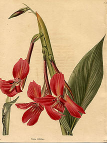 Loddiges Botanical Cabinet, Iris Flowered Canna