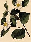 Loddiges Botanical Cabinet, Tea Oil Seed Camellia