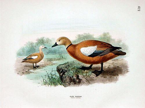 Dresser Birds of Europe Ruddy Sheldrake Lithograph