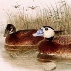 Dresser Birds of Europe White Headed Duck Lithograph